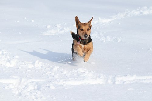 dog  snow  race