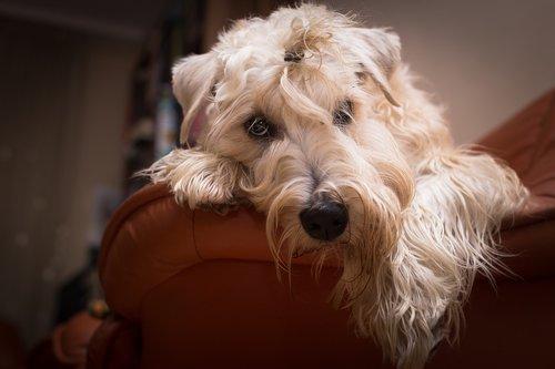 dog  terrier  pet