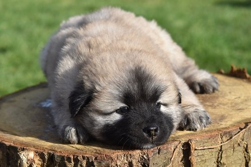 dog  puppy  eurasier puppy