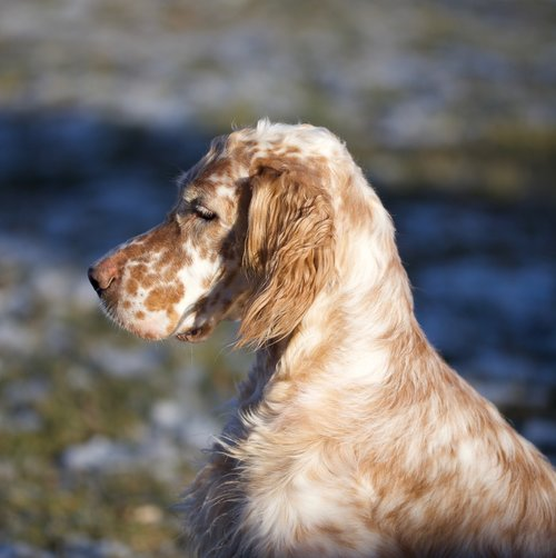 dog  setter  portrait