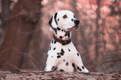 dog  animal  dalmatians