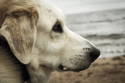 dog  portrait  sea
