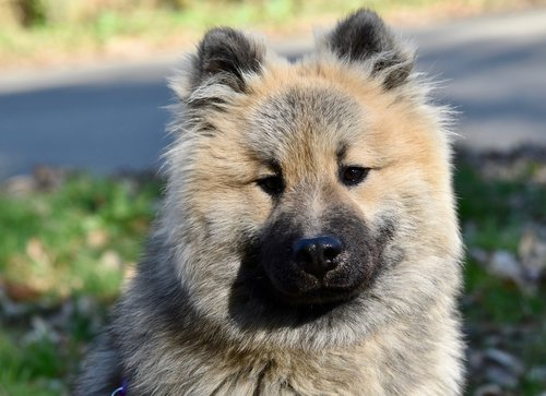 dog  dog eurasier olaf blue  pup