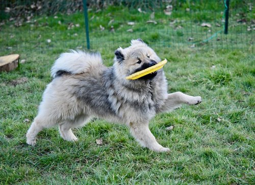dog  dog eurasier olaf blue  young dog plays frisbee