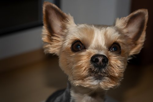 dog  yorki  yorkshire terrier