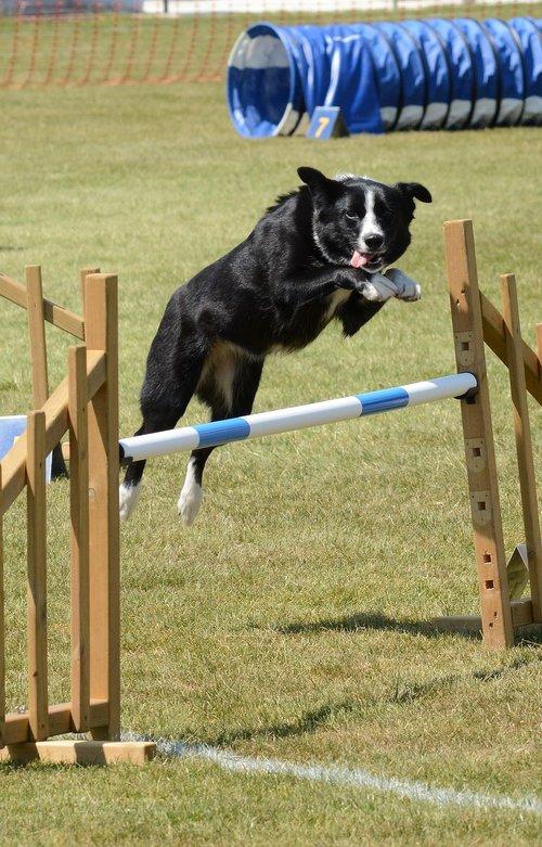 dog  agility  fitness