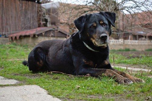 dog  watchman  sweetheart