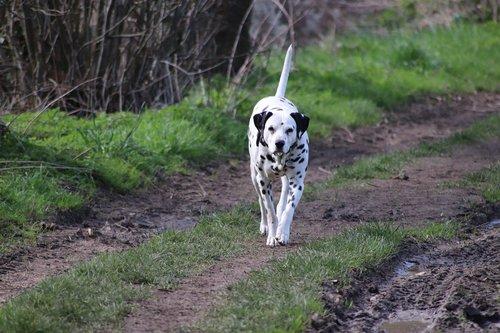 dog  dalmatian  cute