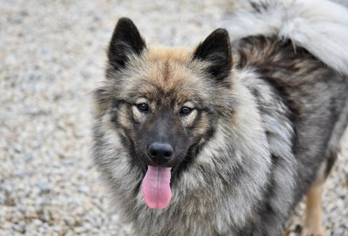 dog  dog eurasier  female eurasier
