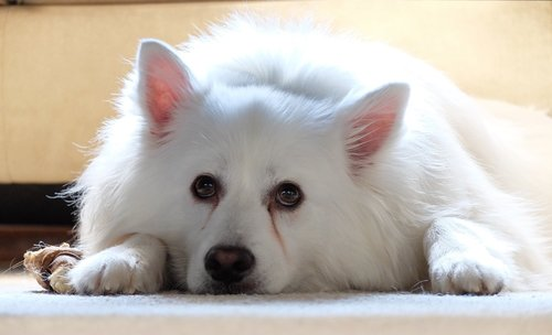 dog  american eskimo  pet