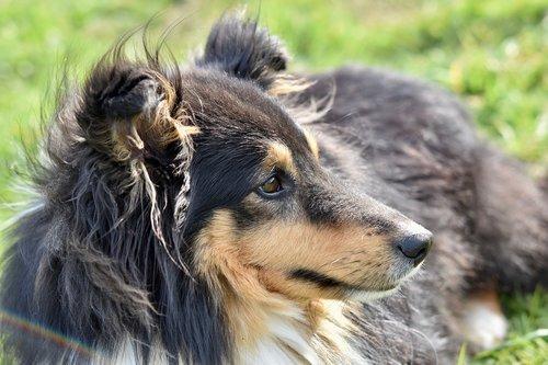 dog  dog shetland sheepdog  shetland sheepdog tricolour