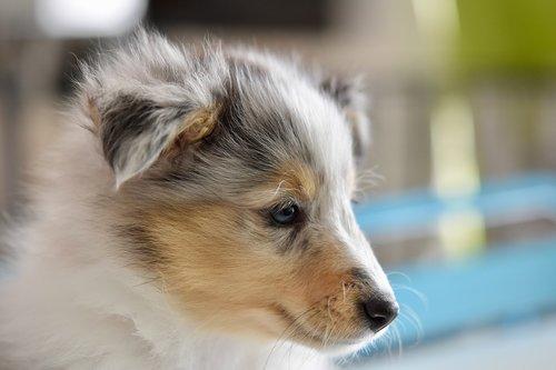 dog  shetland sheepdog  puppy