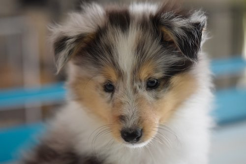 dog  shetland sheepdog  dog