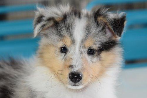 dog  puppy  puppy shetland sheepdog