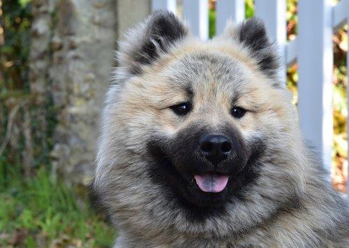 dog  dog olaf eurasier  portrait dog eurasier