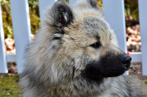 dog  portrait dog profile  head eurasier