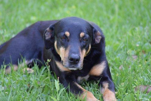 dog  black and tan  black and tan dog