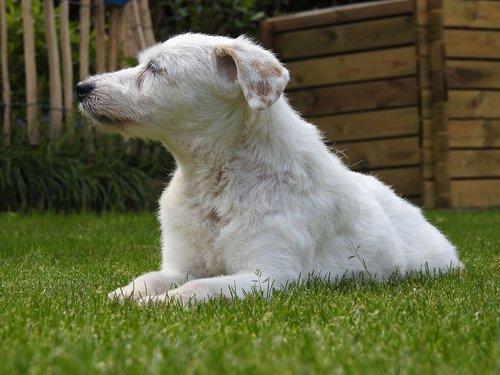 dog  parson russell terrier  terrier