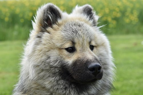 dog  dog eurasier  dog olaf-blue