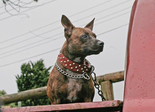 dog  domesticated  pet