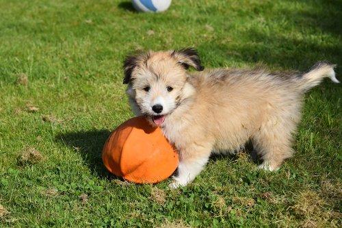dog  small dog  puppy
