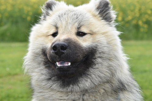 dog  dog eurasier  dog nordic race
