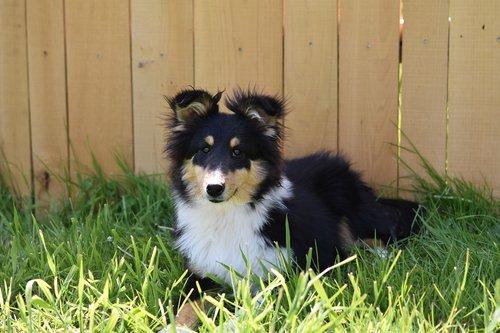 dog  pup  shetland sheepdog