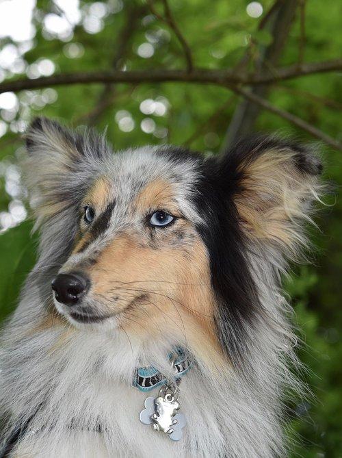 dog  bitch  bitch shetland sheepdog