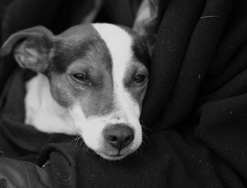 dog  tramp  lap