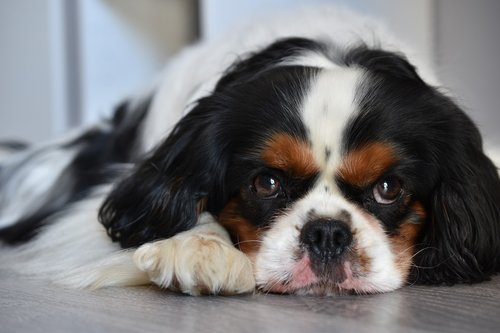 dog  cavalier king charles  animal