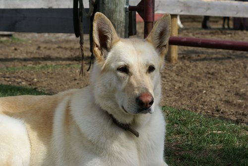 dog  sheppard  pet
