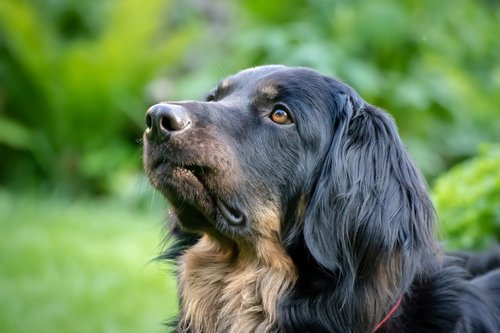 dog  large  black