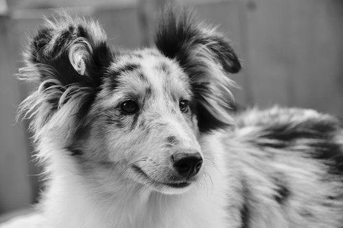 dog  bitch shetland sheepdog  shetland sheepdog-princess blue