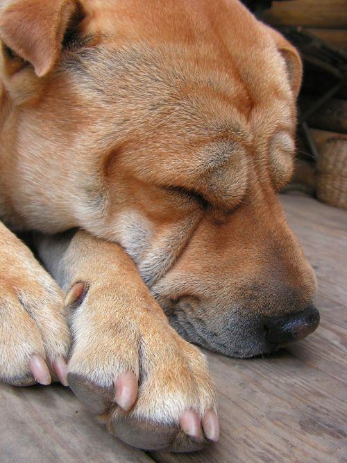 dog dormant sleep