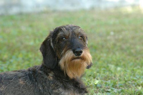 dog dachshund beard