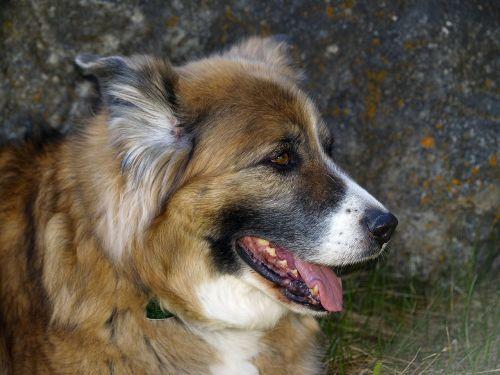 dog canine pet