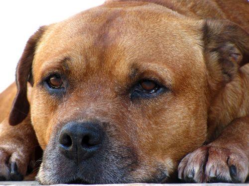 dog pet domestic animals