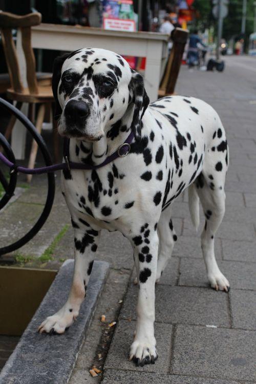 dog dalmatian spots