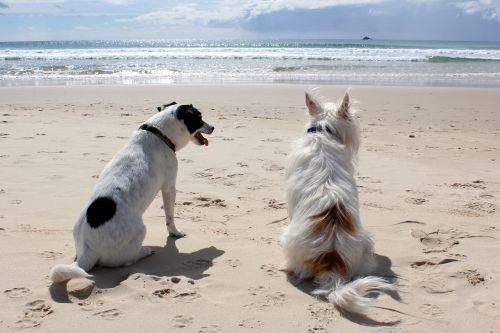 šuo,papludimys,naminis gyvūnėlis,jūra,atostogos,gyvūnas,vandenynas,vasara,laimingas,smėlis,vanduo,šventė,mielas,linksma,gamta,šuniukas,šunys,kartu,Krantas,žmonės,atsipalaiduoti,kranto,Moteris,asmuo