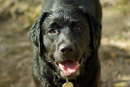 dog labrador language