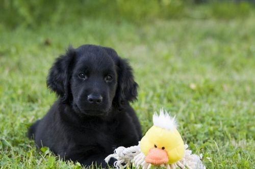 dog puppy black