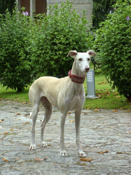 dog collar garden