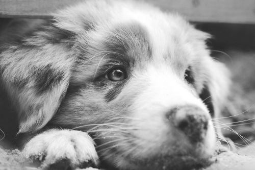 dog australian shepherd aussie