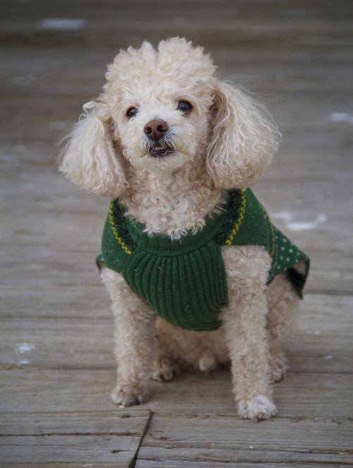 dog toy poodle pet