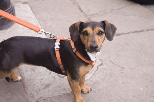 dog dog on a lead puppy