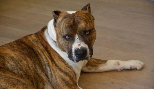 dog american staffordshire watchdog