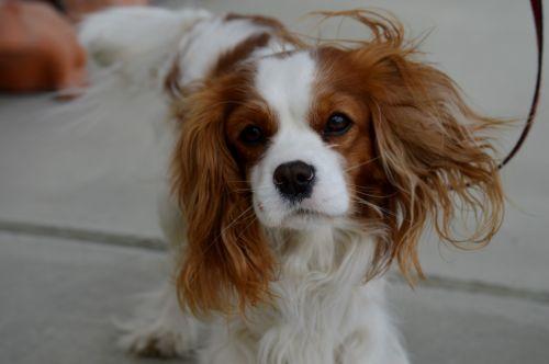 dog cavalier king charles spaniel funny