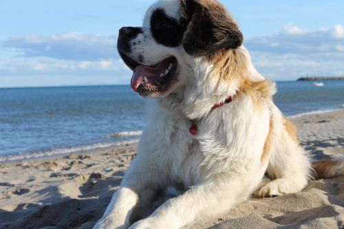 dog saint-bernard beach
