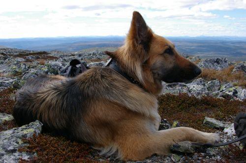 dog german shepherd view