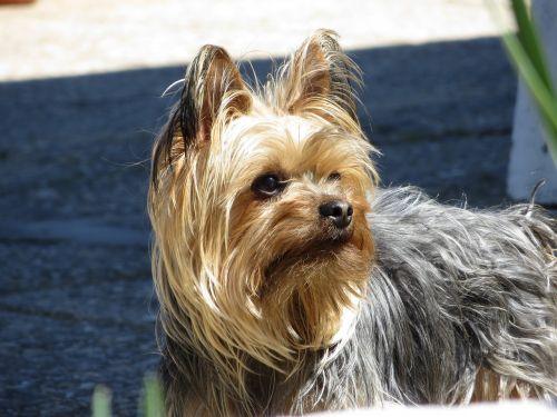 dog yorkshire pet
